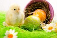 Easter Chick, eggs and Bucket